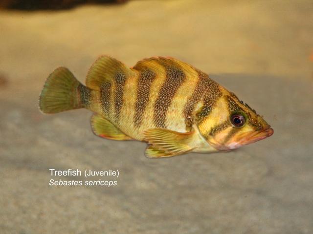 Treefish  (Juvenile) Sebastes serriceps IMG_0036