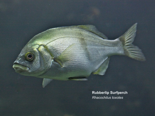 Rubberlip Surfperch14903173973_a0105891ee_k