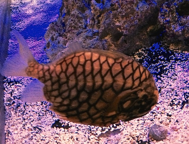 PineconeFish14996127685_785385956b_k