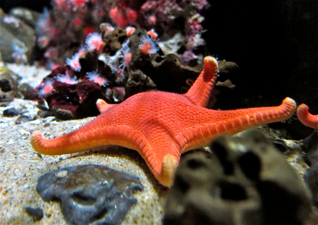 Vermillion Sea StarIMG_3431