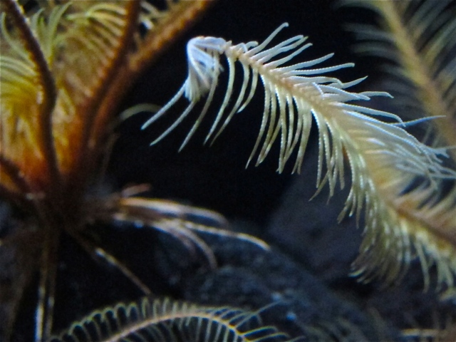 Common Feather StarIMG_5193