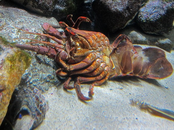 CA Spiny Lobster Molt15837588685_55717b70aa_k