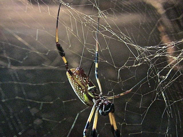 Golden Orb16121279421_89d739a11a_o