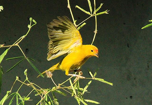 Saffron Finch16244705093_b0b0ee432d_o