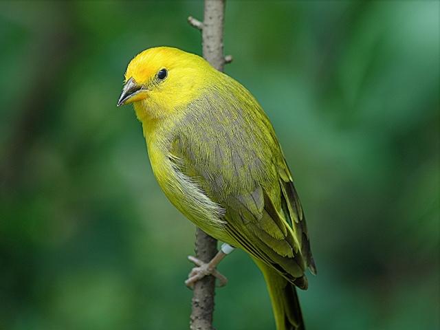 Saffron Finch3258198159_2655e576c6_b