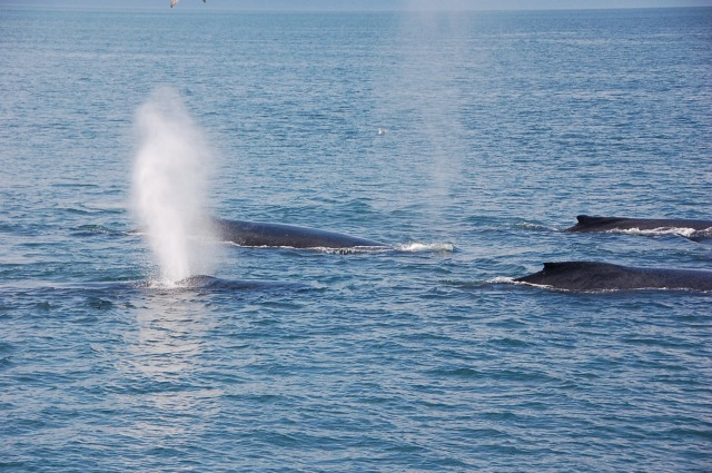 humpback whales17819773296_37dcacd696_o