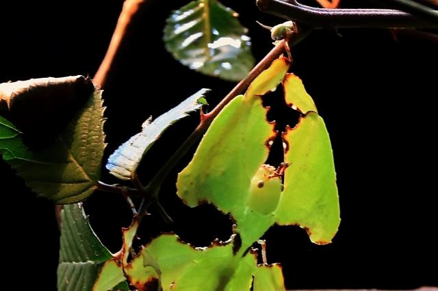 Giant Malaysian leaf insect18951496529_05edfe0096_o