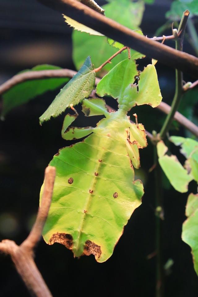 Giant Malaysian leaf insect19131910632_d71d7691e0_o