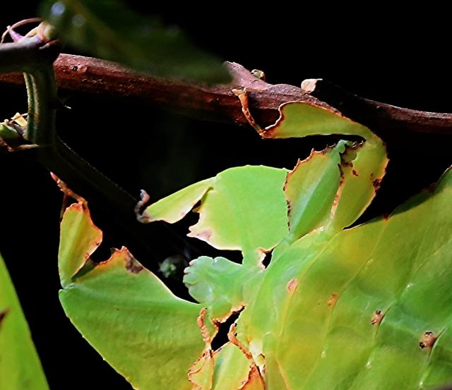 Giant Malaysian leaf insect19141065381_b24c18b8d4_o