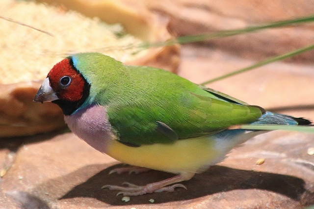 Gouldian Finch 19141610094_37add50720_k