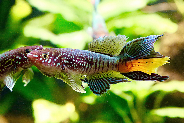 Blue Gularis Killifish20750345676_f4b54fecfe_z
