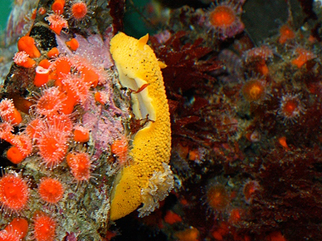 Sea Lemon Nudibranch3123887143_7648580fb9_b
