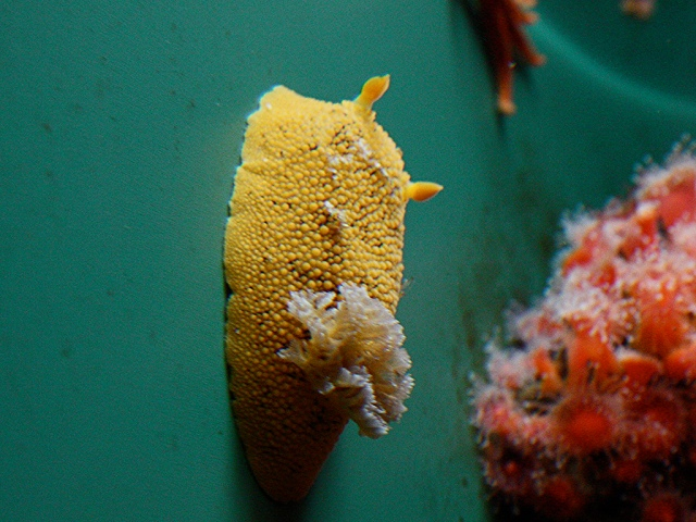 Sea Lemon Nudibranch3124713462_3c7ecb3ff5_b