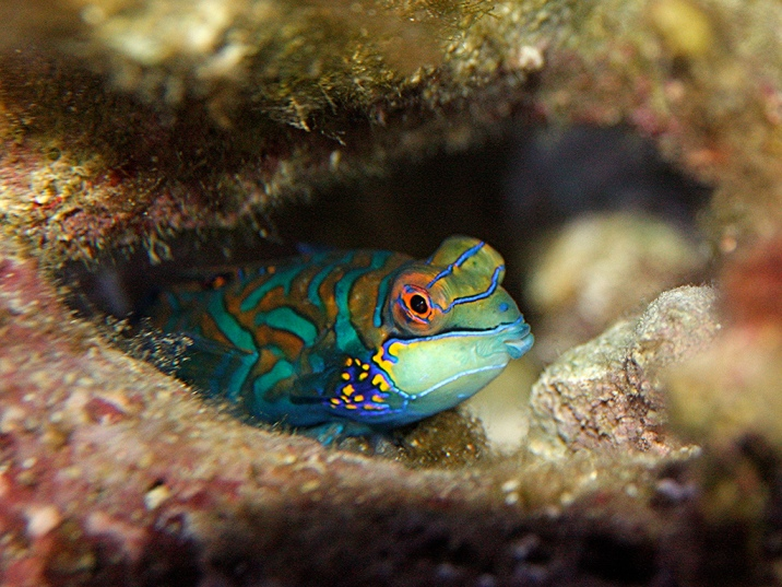 Green Mandarinfish aka Mandarin Dragonet3274882181_969702e800_b