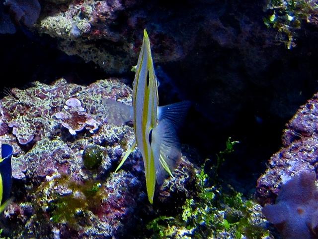 Copperband Butterflyfish8387609757_79c1b099a9_b