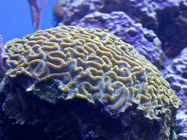 Boulder Brain Coral5230996878_5b77255438_b