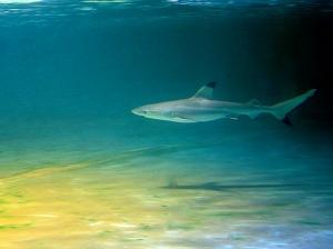 Carcharhinus melanopterus2979831615_73451da081_b