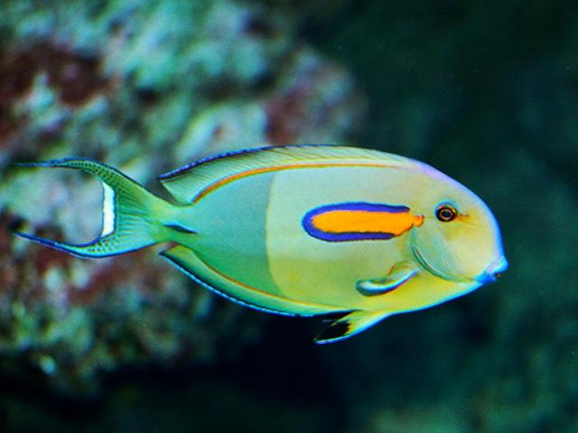 Orangeband Surgeonfish4405089732_995ac616e4_b