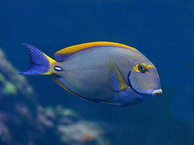 Eyestripsurgeonfish3161438409_067c34e458_b