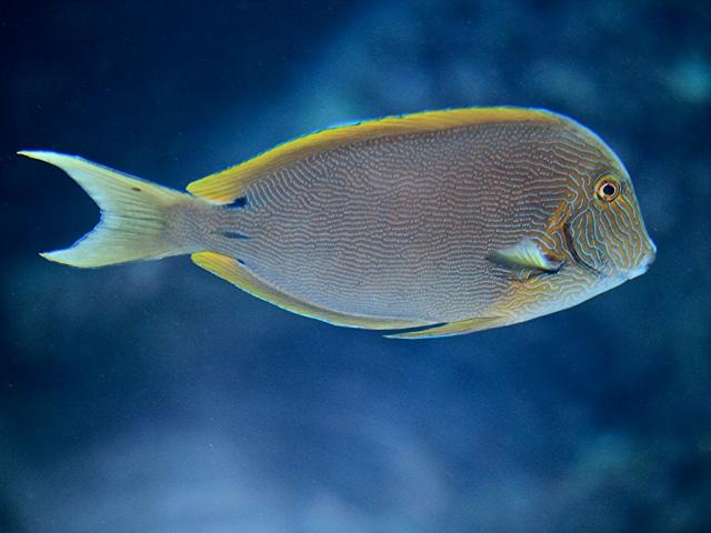 Blue-lined Surgeonfish4405089188_0ed976bdfe_b