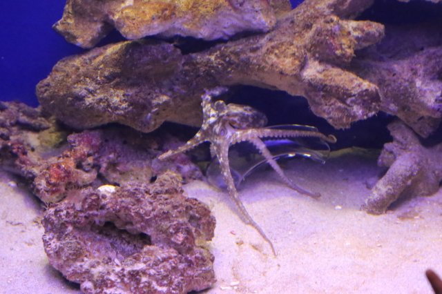 Two-spot Octopus26033508582_96a0c27793_k