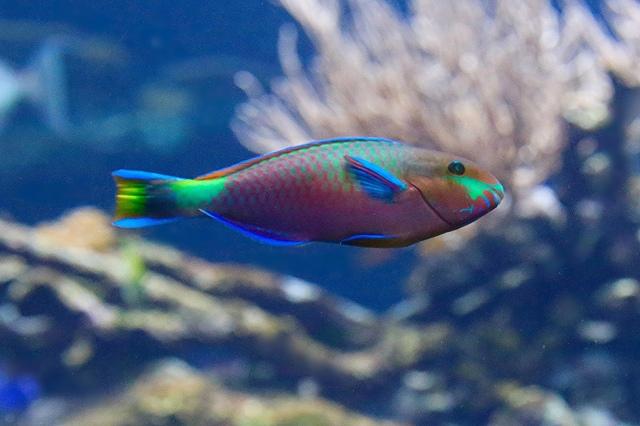 Quoy's Parrotfish20793038334_af78ec0ed9_k