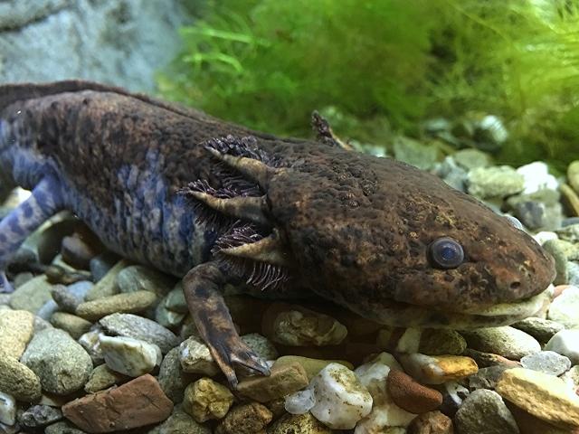 Anderson's Salamander29682163253_8ab1906ee7_o
