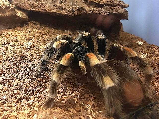 Mexican Red Knee Tarantula30463911086_990fd616a7_k