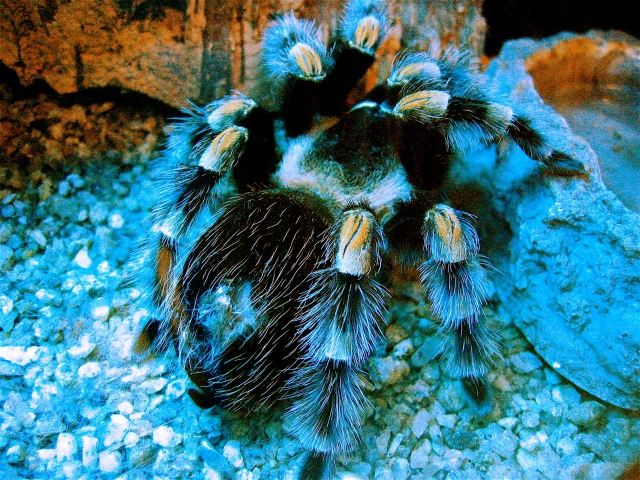 Mexican Red Knee Tarantula4515783385_eb611c7fd6_o