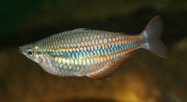 Rainbowfish3059546154_5f846da4d4_o