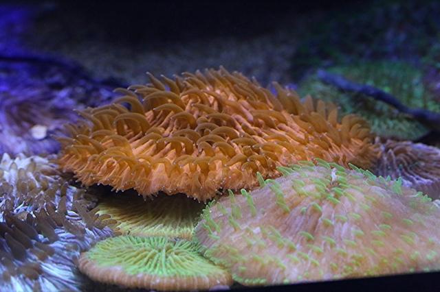 Mushroom Coral24651024753_5ace92aaf6_k