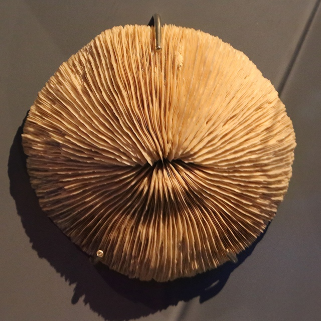 Mushroom Coral24929915125_850e98ad03_k