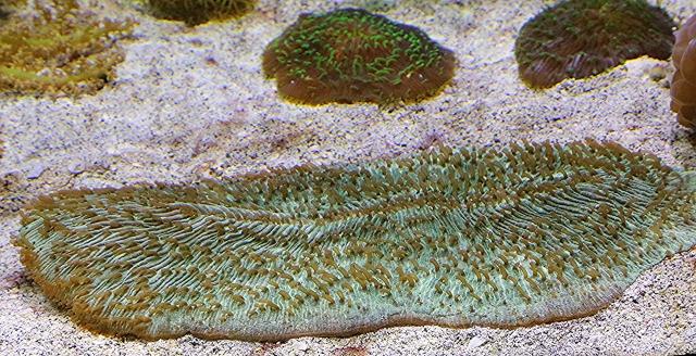 Slipper Coral25262228054_8ba6012bc8_o