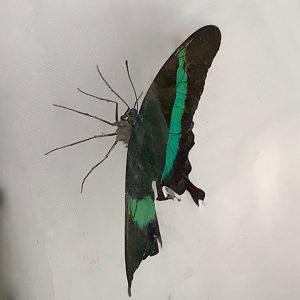 Banded Peacock33656616340_8b51c43b66_h