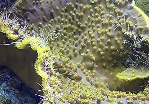 Yellow Cup Coral