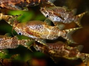 Upsidedown Catfish